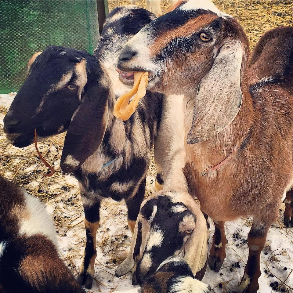 Kombucha and Goats