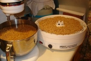 Dehydrating Wheat Grains